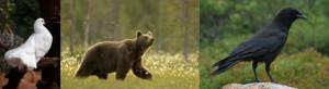 300 - La colombe, l'ours et le corbeau 2