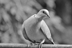 326 - Emi et la colombe