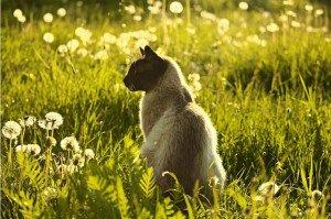 381 - Le chat et le pissenlit