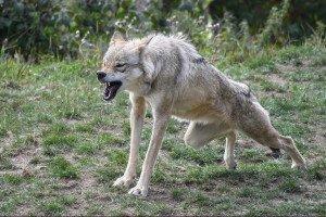 447 - Le loup et l'amazone 2 2